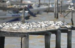 Andorinhas-do-mar do sanduíche Imagem de Stock Royalty Free