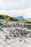 O rebanho de pinguins africanos pequenos em Boulder encalha fotografia de stock royalty free