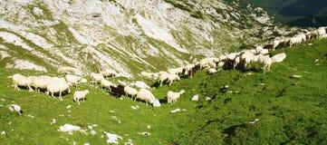 O rebanho de Sheeps Fotos de Stock