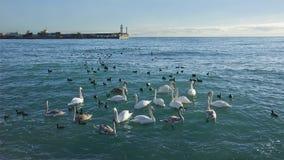 O rebanho de swanes selvagens toma o refúgio no porto Fotografia de Stock Royalty Free