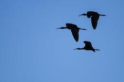 O rebanho de três Branco-enfrentou os íbis mostrados em silhueta em um céu azul Foto de Stock