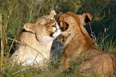 O rebanho do leão foto de stock