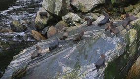 O rebanho do mar do tasman sela na rocha litoral vídeos de arquivo