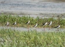 O rebanho do preto voou os pássaros do pernas de pau que vadeiam entre juncos do rio imagens de stock royalty free