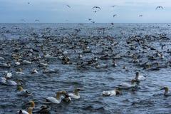 O rebanho dos albatrozes aproxima penhascos do bempton, Yorkshire, Reino Unido Foto de Stock