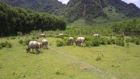 O rebanho dos búfalos anda ao longo da vista aérea verde do prado video estoque