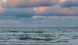 O rebanho dos borrelhos sobre Oceano Atlântico encalha fotografia de stock royalty free