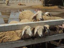 O rebanho dos carneiros Imagens de Stock Royalty Free