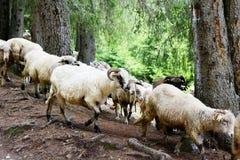 O rebanho dos carneiros em uma montanha ajardina fotos de stock