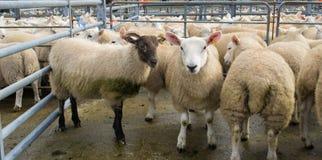 Rebanho dos carneiros misturados com as cabras imagem de stock royalty free