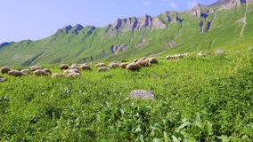 O rebanho dos carneiros no pasto alpino na manhã expõe ao sol a luz geórgia Fotografia de Stock