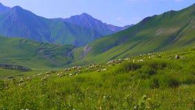 O rebanho dos carneiros no pasto alpino na manhã expõe ao sol a luz geórgia Fotografia de Stock Royalty Free