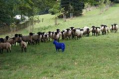 O rebanho dos carneiros que admiram-se nos carneiros azuis no pasto Imagens de Stock
