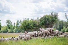 O rebanho dos carneiros que estão no monte pequeno das rochas sob árvores Fotografia de Stock Royalty Free