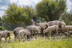 O rebanho dos carneiros que estão no monte pequeno das rochas sob árvores Imagem de Stock