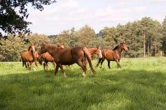 O rebanho dos cavalos. Imagem de Stock