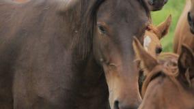 O rebanho dos cavalos está pastando nos montes de Alma-ata vídeos de arquivo