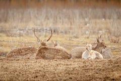 O rebanho dos cervos está descansando na clareira Fotos de Stock Royalty Free