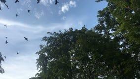 O rebanho dos corvos voa sobre as copas de árvore vídeos de arquivo