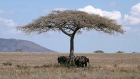 O rebanho dos elefantes sob a árvore protege Fotos de Stock Royalty Free