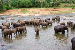 O rebanho dos elefants está banhando-se no rio Imagem de Stock Royalty Free