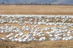 O rebanho dos gansos de neve salta junto pássaros selvagens da migração Fotos de Stock Royalty Free