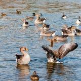 O rebanho dos gansos de pato bravo europeu que banham-se na manhã fria expõe-se ao sol no Reino Unido foto de stock royalty free