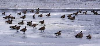 O rebanho dos gansos em um lago congelado fotos de stock