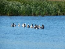O rebanho dos gansos nada em um rio bonito em um verão ensolarado Imagem de Stock Royalty Free