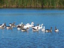 O rebanho dos gansos nada em um rio bonito em um verão ensolarado Fotografia de Stock