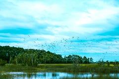 O rebanho dos pássaros voa sobre o pântano do baixo país de South Carolina no dia nebuloso Fotos de Stock Royalty Free