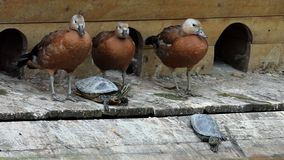 O rebanho dos patos e diversas tartarugas sentam-se em um banco do lago no slo-mo filme