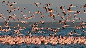 O rebanho grande pica moscas dos flamingos sobre o lago Imagem de Stock Royalty Free