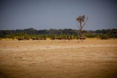 Rebanho Running da avestruz Fotos de Stock