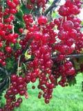 O Redcurrant está pronto no jardim Imagem de Stock Royalty Free
