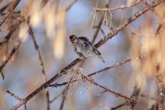 O Redpoll está sentando-se em um ramo de árvore Foto de Stock