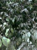 O refrescamento verde ramifica com as folhas da árvore de amêndoa indiana Terminalia Catappa contra o céu brilhante da tarde Folh fotos de stock royalty free