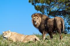 O rei do leão Foto de Stock