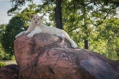 O rei do leão da selva relaxa em uma rocha Fotos de Stock