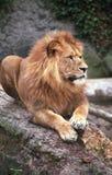 O rei do leão II Fotos de Stock Royalty Free