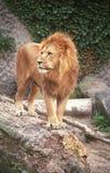 O rei do leão IV Fotos de Stock Royalty Free
