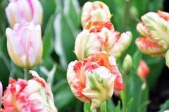 O REI do PAPAGAIO ? um tipo da tulipa do papagaio fotos de stock royalty free