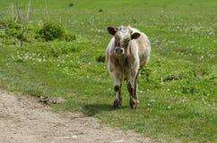 O relógio da vaca com atenção Fotografia de Stock