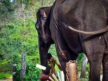 O relacionamento entre o elefante e o it& x27; trenner de s Fotografia de Stock Royalty Free