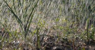 O remendo do jardim com cebolas verdes e grama está sob o córrego de gotas chuvosas video estoque