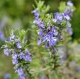 o resh Rosemary Herb cresce exterior O alecrim sae do close-up fotografia de stock