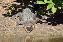 O resto do crocodilo da água salgada em um banco de rio com suas maxilas abre Fotografia de Stock Royalty Free