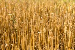 O restolho colheu o campo de trigo Imagem de Stock