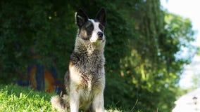 O retrato alegre e ativo do cão da misturado-raça, cão desabrigado feliz senta-se na grama no parque filme