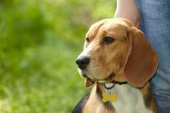 O retrato da cabeça de cão do lebreiro deixou o perfil em um fundo verde exterior em um close up da natureza fotografia de stock royalty free